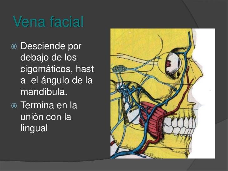 Tirolinguifaringeofacial<br />Drena los sistemas de la tiroides, la lengua, la faringe y la cara.<br />