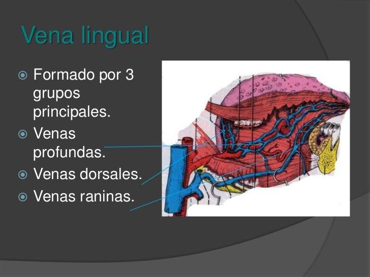 Anastomosis de la vena facial<br />Vena oftálmica<br />Venas maxilares internas.<br />Vena retromandibular.<br />Venas sub...