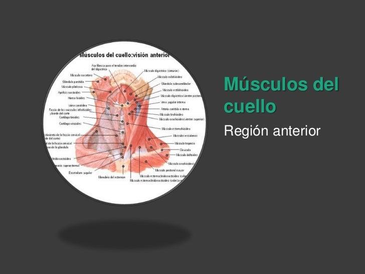 Músculos del cuello<br />Región anterior<br />