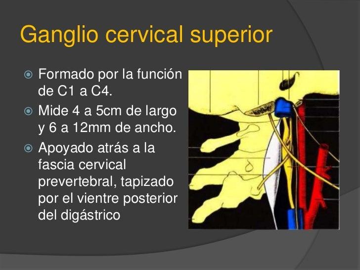 Tronco cervical simpático<br />Son anterolaterales a la columna vertebral y se inicia a nivel de C1.<br />Se dividen en su...