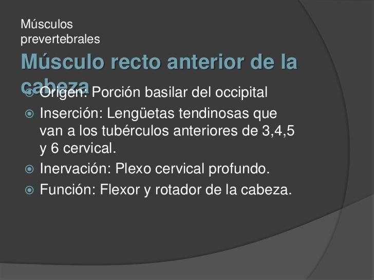 Músculo recto anterior de la cabeza<br />Músculos prevertebrales<br />Origen: Porción basilar del occipital<br />Inserción...