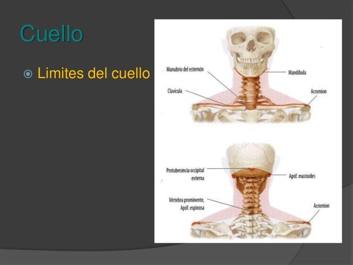 Musculos Del Cuello Slide 2