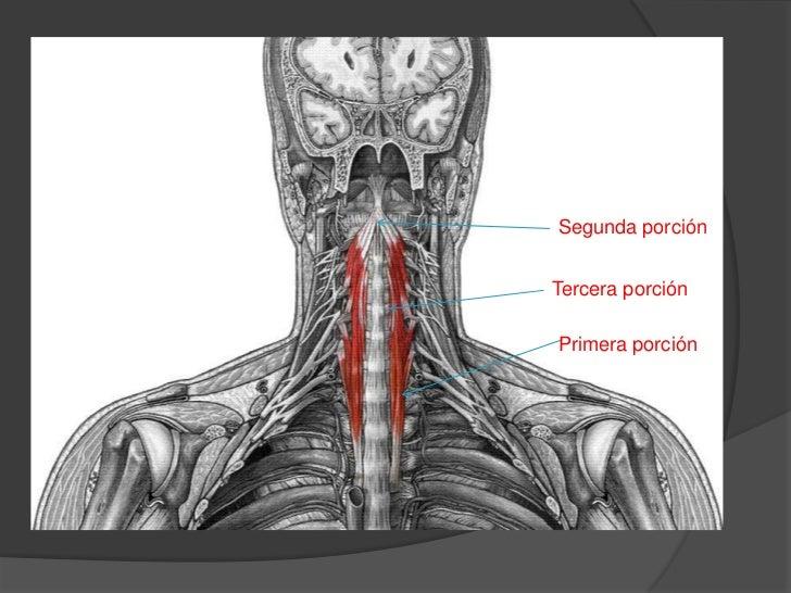 Musculos del cuello for Esternohioideo y esternotiroideo