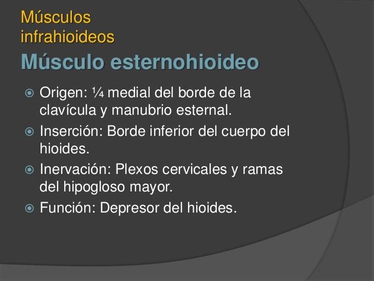 Músculo esternohioideo<br />Músculos infrahioideos<br />Origen: ¼ medial del borde de la clavícula y manubrio esternal.<br...