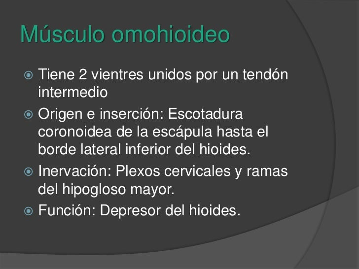 Músculo omohioideo<br />Tiene 2 vientres unidos por un tendón intermedio<br />Origen e inserción: Escotadura coronoidea de...
