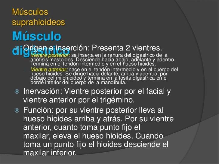 Músculo digástrico<br />Músculos suprahioideos<br />Origen e inserción: Presenta 2 vientres.<br /><ul><li>Vientre posterio...