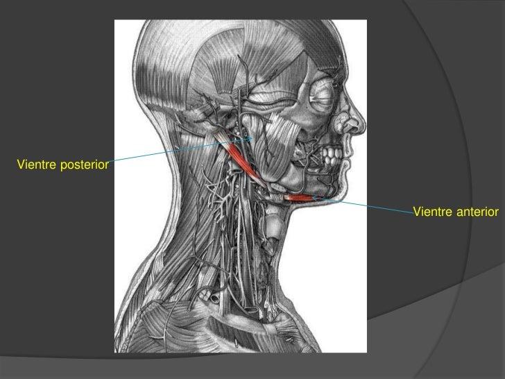 Vientre anterior:nace en el tendón intermedio y en el cuerpo del hueso hioides. Se dirige hacia delante, arriba y adentro,...