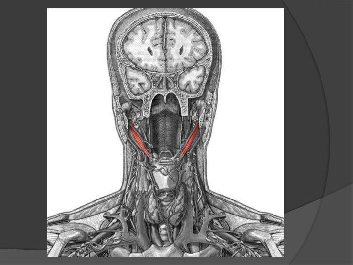 Músculo estilohioideo<br />Origen e inserción: Por arriba se inserta en la porción externa de la base de la apófisis estil...