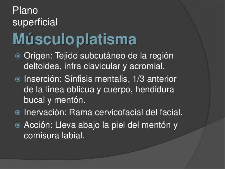 Músculoplatisma<br />Plano superficial<br />Origen: Tejido subcutáneo de la región deltoidea, infra clavicular y acromial....