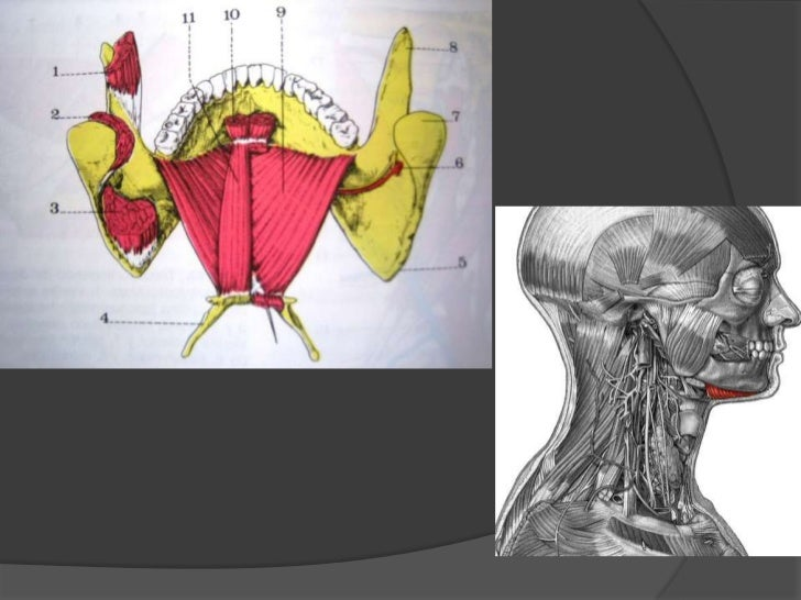 Músculo milohioideo<br />Origen e inserción: va del maxilar inferior a la línea milohioidea y del hueso hioides.<br />Iner...