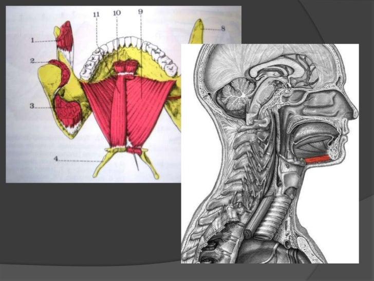 Músculo genihioideo<br />Origen e inserción: va del hueso maxilar inferior al hueso hioides.<br />Inervación: Nervio hipog...