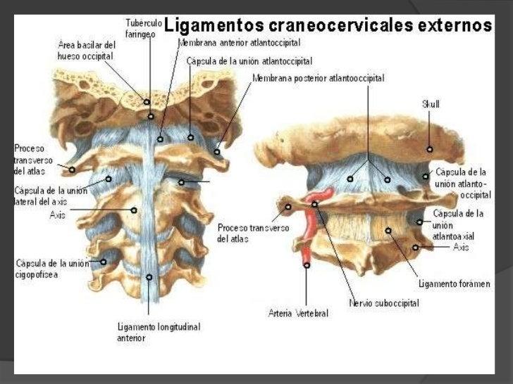 Articulaciones craneovertebrales<br />Atlantooccipital<br />Atlantoaxoidea.<br />