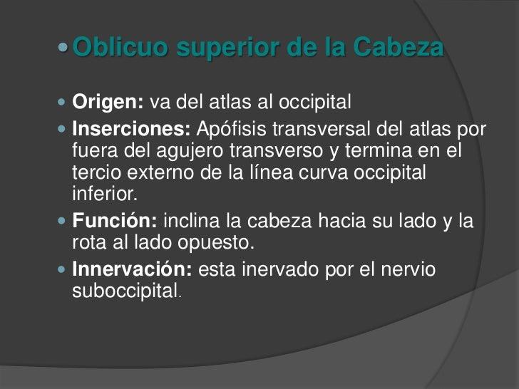 Oblicuo Inferior de la Cabeza<br />