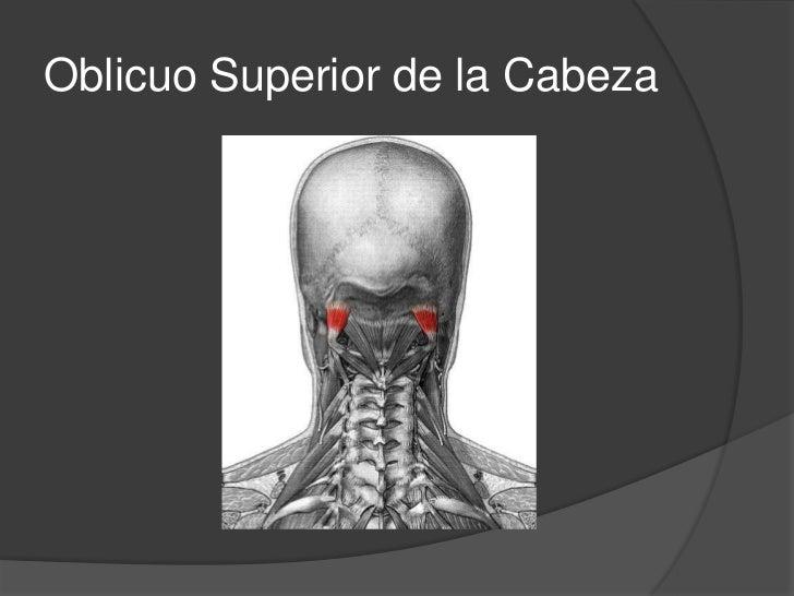 Oblicuo superior de la Cabeza<br />Origen: va del atlas al occipital<br />Inserciones: Apófisis transversal del atlas por ...