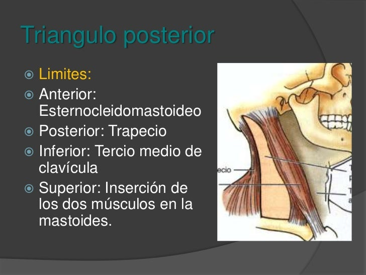 Triángulos del cuello<br />Triangulo anterior<br />Submandibular<br />Submentoniano<br />Triangulo carotideo<br />Muscular...