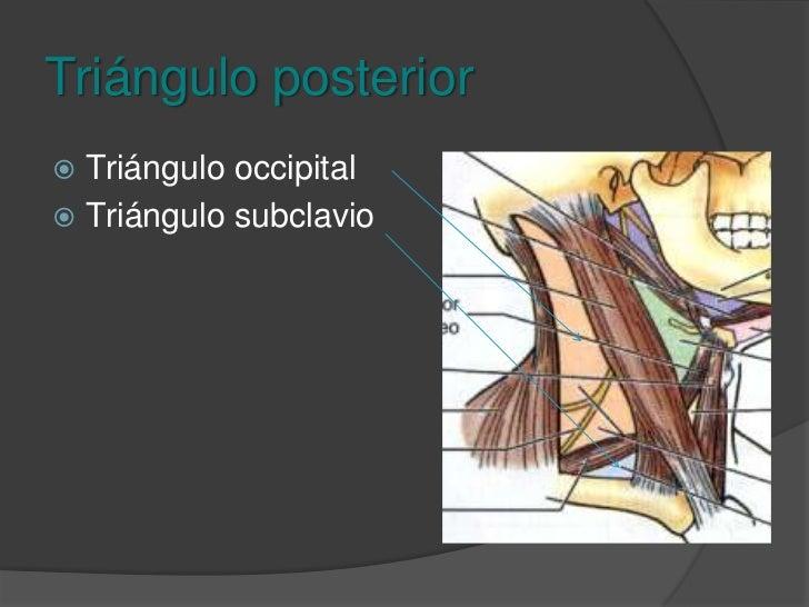 Triangulo posterior<br />Limites:<br />Anterior: Esternocleidomastoideo<br />Posterior: Trapecio<br />Inferior: Tercio med...