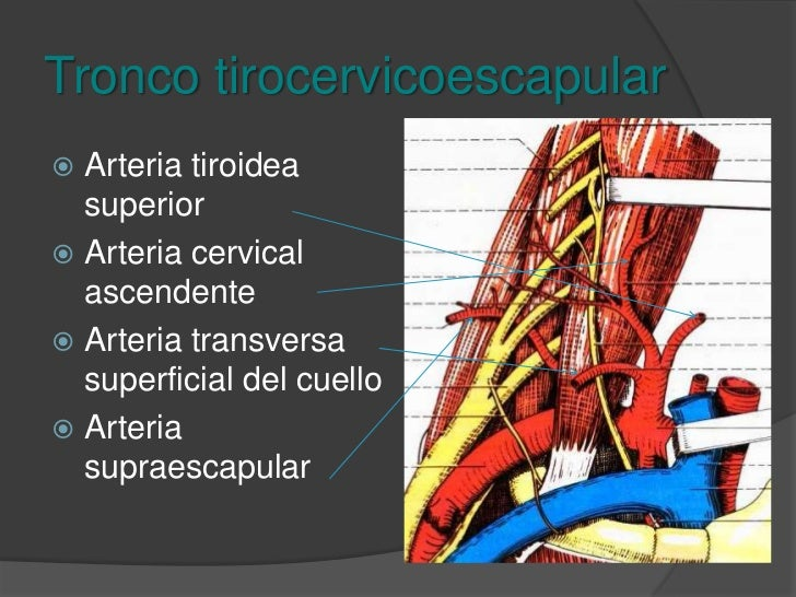 Tronco costocervical<br />Cervical profunda<br />Intercostal suprema<br />