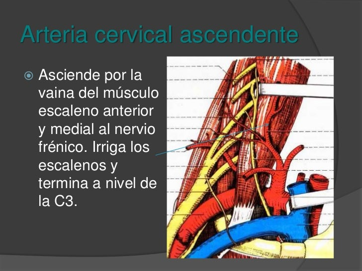 Tronco tirocervicoescapular<br />Arteria tiroidea superior<br />Arteria cervical ascendente<br />Arteria transversa superf...