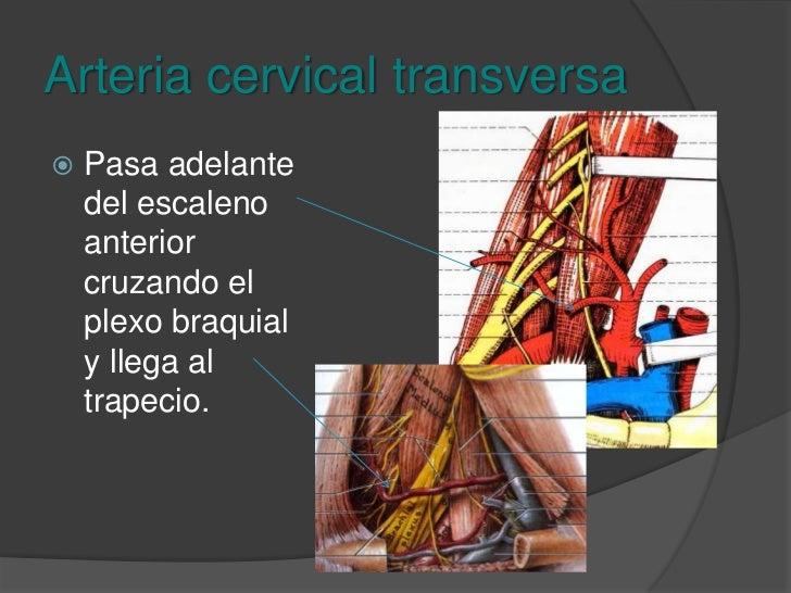 Arteria cervical ascendente<br />Asciende por la vaina del músculo escaleno anterior y medial al nervio frénico. Irriga lo...