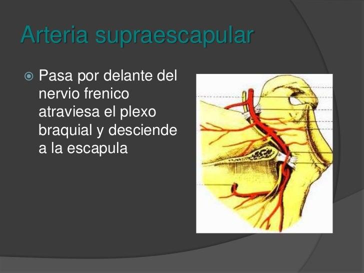Arteria cervical transversa<br />Pasa adelante del escaleno anterior cruzando el plexo braquial y llega al trapecio.<br />