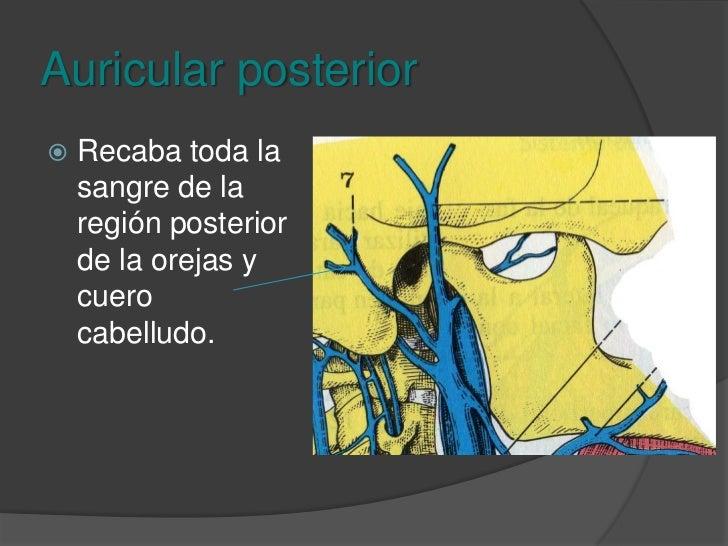 Vena maxilar<br />Se encuentra por detrás de la tuberosidad de la maxila y recibe venas temporales profundas, pterigoideas...