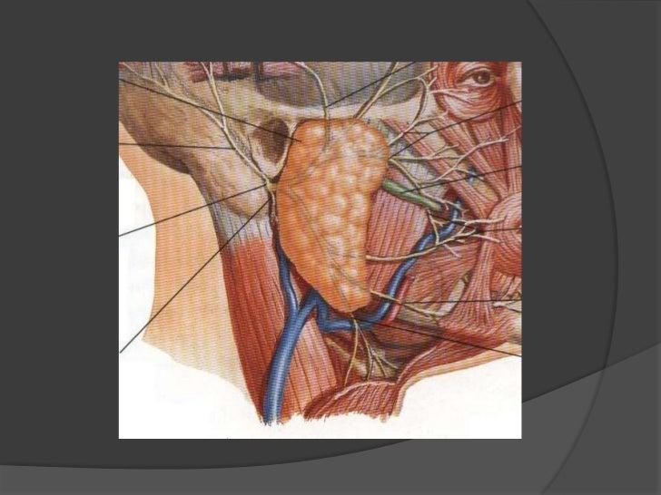 Yugular externa<br />Baja por el borde superficial del esternocleidomastoideo y en su tercio medio penetra al triángulo po...