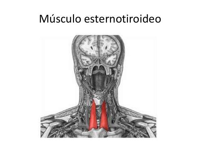 Musculos del cuello 2012 for Esternohioideo y esternotiroideo