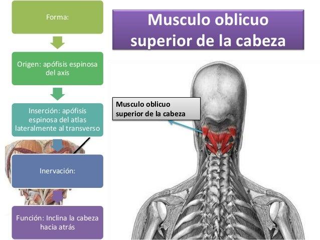 Musculos del cuello Charleny Rosario