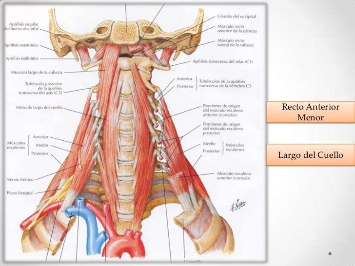 Bonito Músculos Profundos Del Cuello Viñeta - Anatomía de Las ...