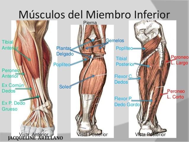 principales musculos del cuerpo humano
