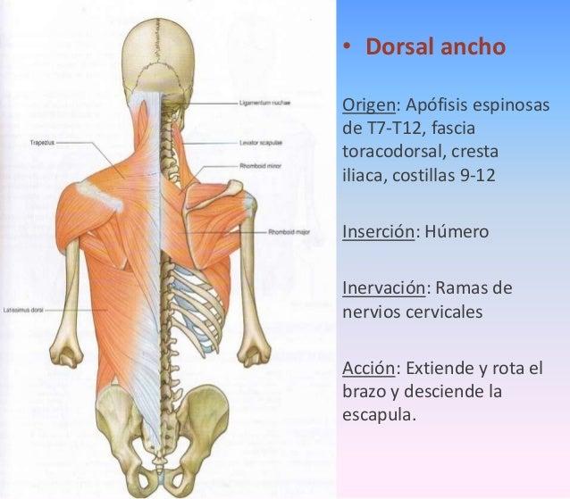 Musculos del dorso1