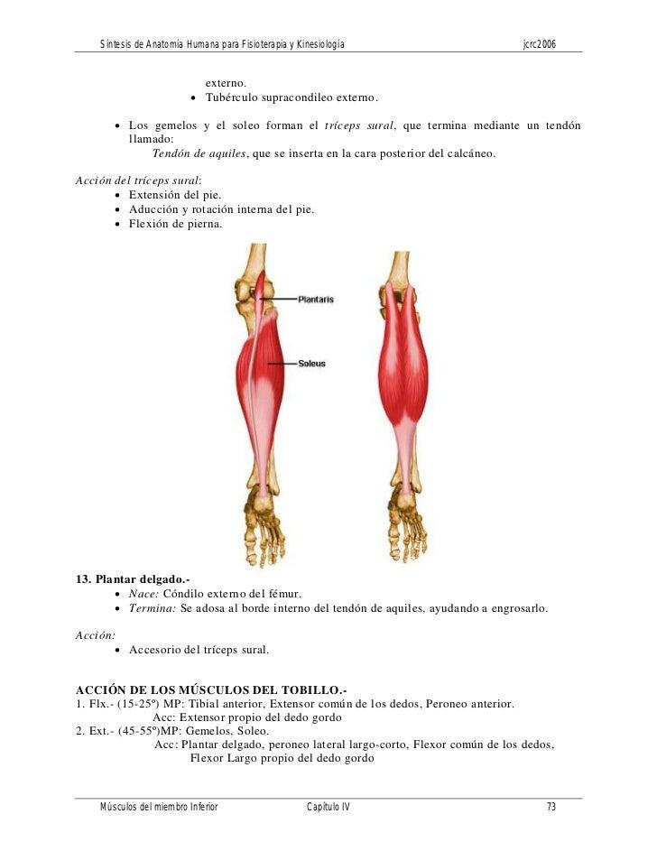 Encantador Los Músculos Del Tobillo Anatomía Adorno - Imágenes de ...