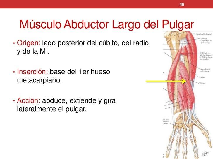 Increíble Los Músculos De La Anatomía Del Pulgar Festooning ...