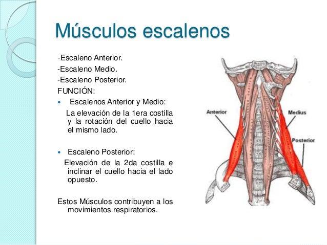 Musculos del ojo y músculos del cuello