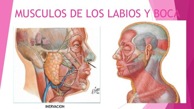 MUSCULOS DE LOS LABIOS Y BOCA INERVACION