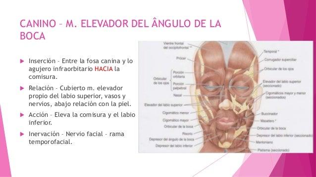 Musculos de la boca Slide 2