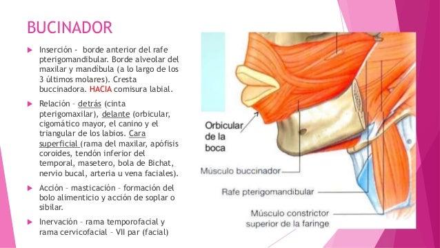 Musculos de la boca Slide 3