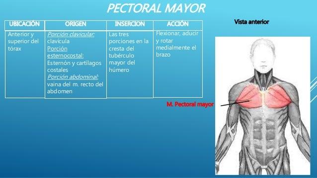PECTORAL MAYOR UBICACIÓN ACCIÓNORIGEN INSERCION Flexionar, aducir y rotar medialmente el brazo Anterior y superior del tór...