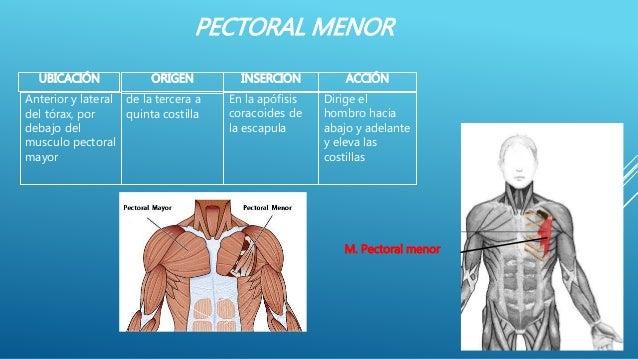 PECTORAL MENOR UBICACIÓN ACCIÓNORIGEN INSERCION Dirige el hombro hacia abajo y adelante y eleva las costillas Anterior y l...
