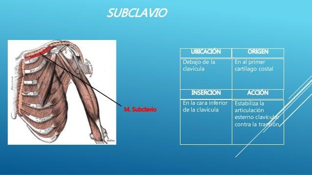 SUBCLAVIO ACCIÓNINSERCION Estabiliza la articulación esterno clavicular contra la tracción En la cara inferior de la claví...