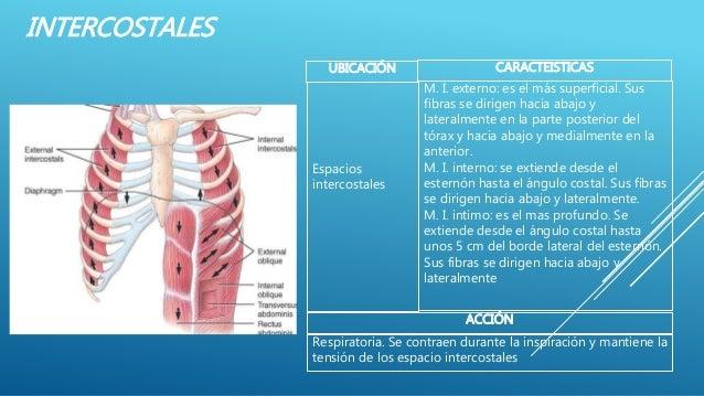INTERCOSTALES UBICACIÓN CARACTEISTICAS M. I. externo: es el más superficial. Sus fibras se dirigen hacia abajo y lateralme...