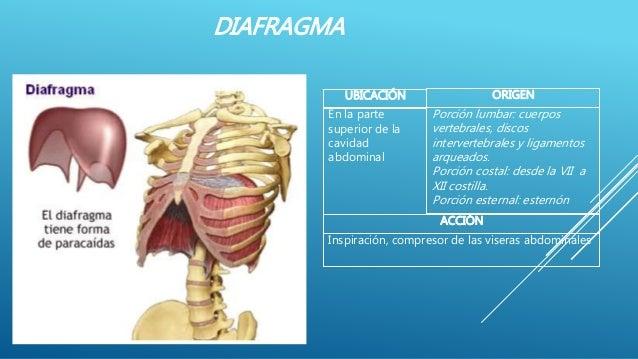 DIAFRAGMA UBICACIÓN ACCIÓN ORIGEN Inspiración, compresor de las viseras abdominales En la parte superior de la cavidad abd...