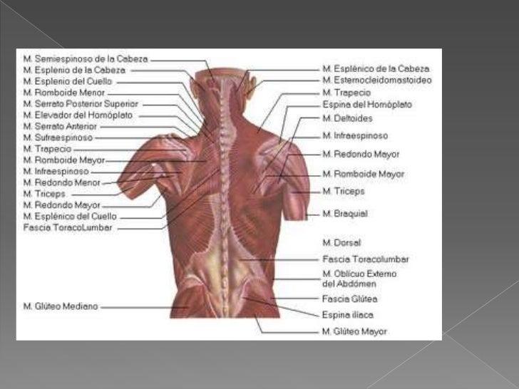 Musculos Del Torax, Espalda Y Columna Vertebral