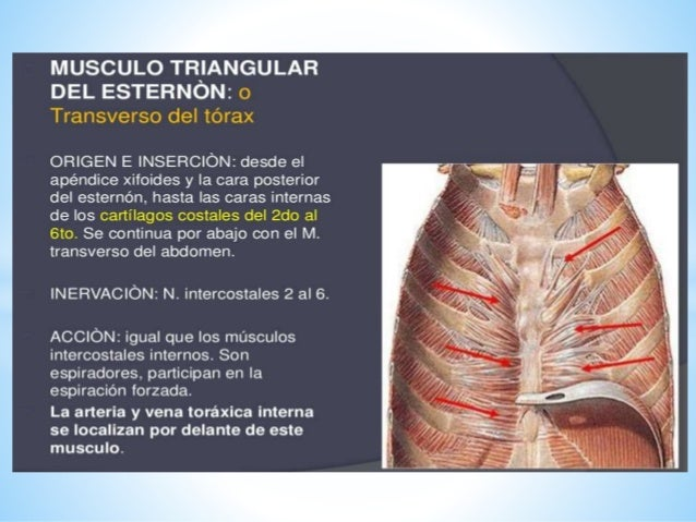 Musculos del torax grupo 1