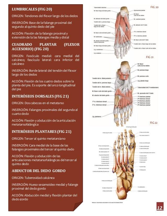 Increíble Quinto Dedo Del Pie Anatomía Foto - Imágenes de Anatomía ...