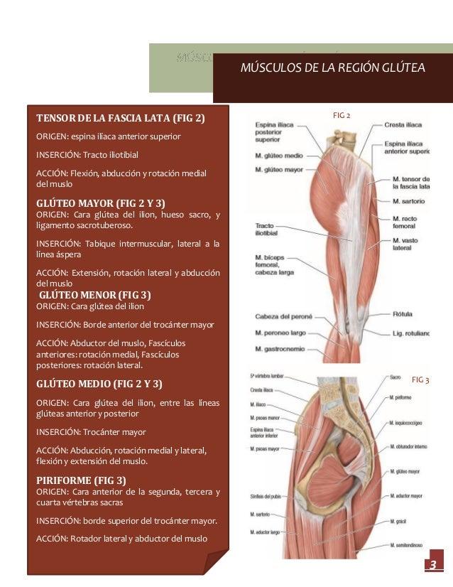 Encantador Posterior Anatomía Muscular En El Muslo Inspiración ...