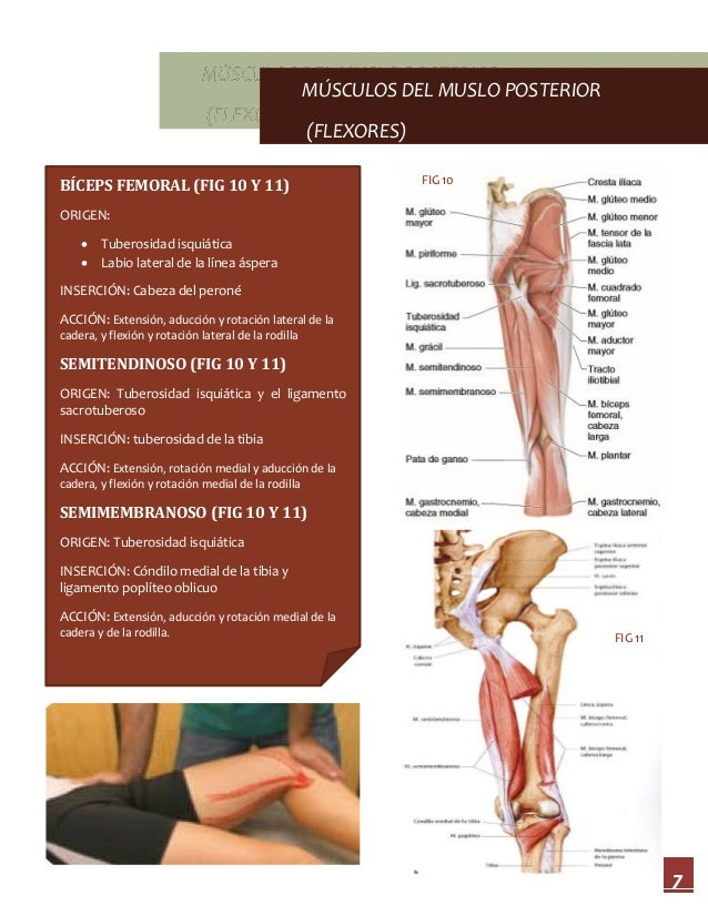 Musculos de miembro pélvico