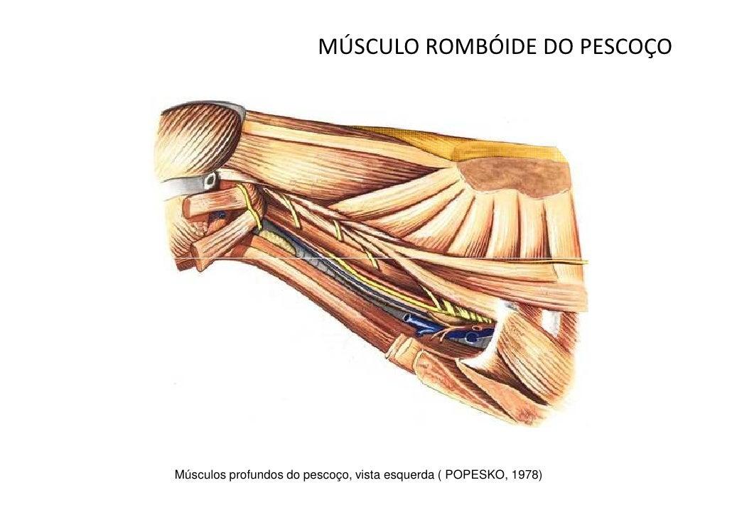Musculos do cão