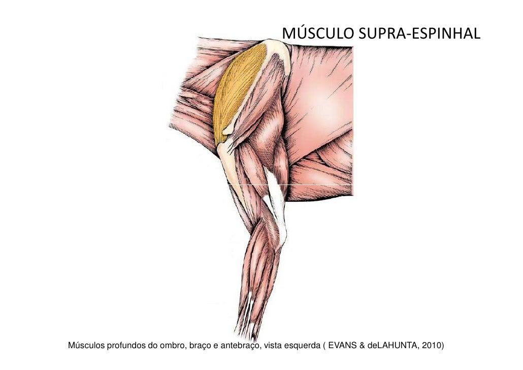 Bonito Gráfico De La Anatomía Canino Músculo Bandera - Anatomía y ...