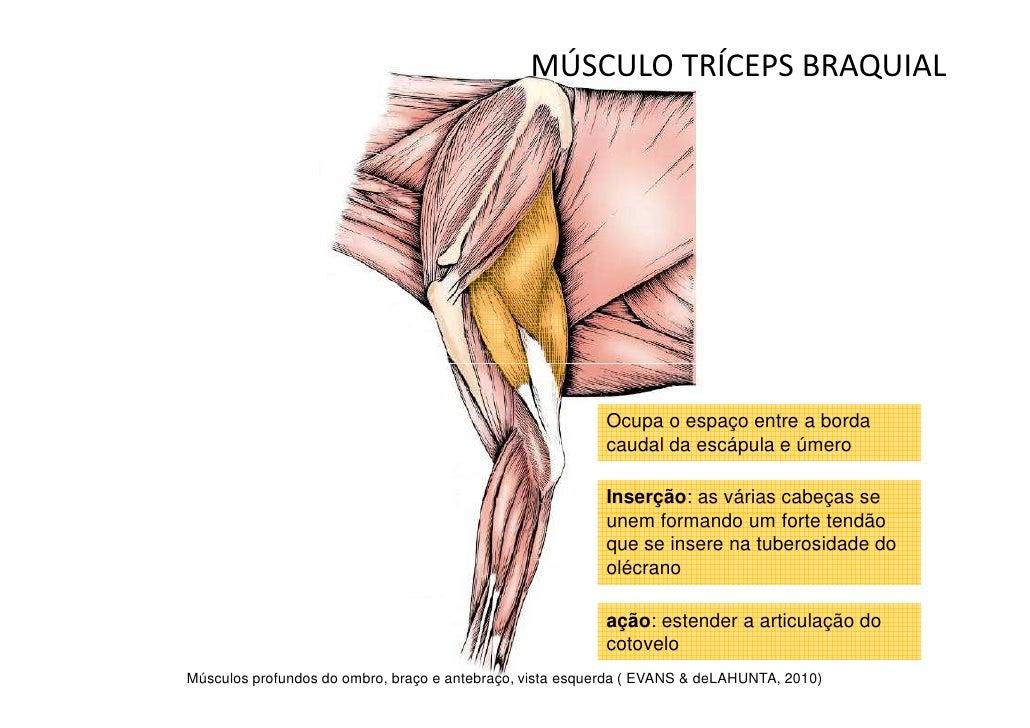 Increíble Anatomía Tríceps Festooning - Imágenes de Anatomía Humana ...